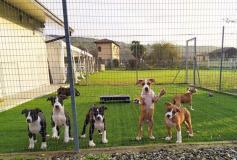 Disponibili ultimi  cuccioli di Amstaff