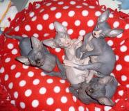 4 Don Sphynx Kitten IMMEDIATAMENTE in...