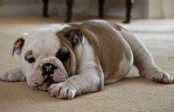 Bulldog Inglese in vendita