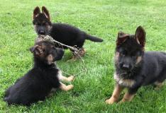Cuccioli pastore tedesco