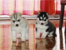 adorabili cuccioli di Siberian Husky
