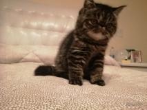 Gatti exotic shorthair