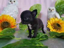 Chihuahua femmina totalmente nera magnifica minuscola