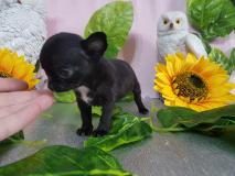 Chihuahua femmina totalmente nera...