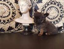 Chihuahua femmina pelo lungo fulvo...