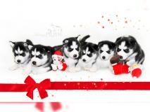 I cuccioli di siberian husky in bianco...