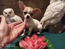 Chihuahua maschio vero Toy 3 mesi e mezzo