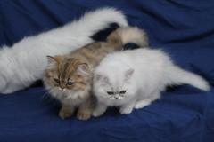 Gattini persiani in vendita
