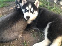 Cuccioli Akb Pure Breed Siberian Husky.