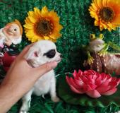 Chihuahua femmina pelo lungo bianca toy
