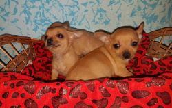 Cuccioli di chihuahua toy di 2 mesi