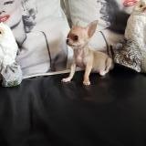 Chihuahua maschio tea cup Max 1.2 kg da adulto