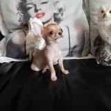 Chihuahua maschio tea cup Max 1.2 kg da...