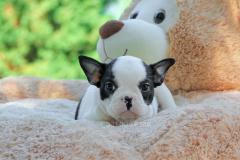 Bulldog Francese bianca e nera