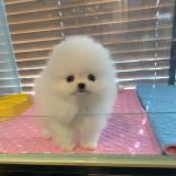 Adorable Top Quality Micro Tiny T-cup Pom Puppies!