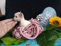 chihuahua femmina dimensione tea cup peso da adulta 1.2kg