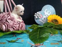 chihuahua femmina dimensione tea cup peso da adulta 1.2kg chihuahuafemminadimensioneteacuppesodaadulta12kg12.jpg