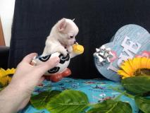 chihuahua femmina dimensione tea cup...