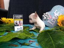 chihuahua femmina dimensione tea cup peso da adulta 1.2kg chihuahuafemminadimensioneteacuppesodaadulta12kg12345.jpg