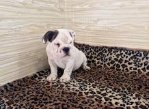 bulldog inglesi bulldoginglesi1.jpg