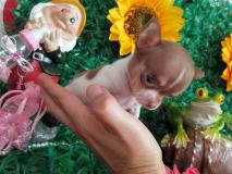 Chihuahua femmina tea Cup Lillac e White