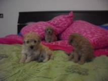 cuccioli di barboncino