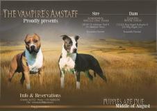 Disponibili cuccioli di Amstaff