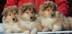 cuccioli collies- pastore scozzese- rough collies cucciolicolliespastorescozzeseroughcollies-5c5812c9a4c13.jpg