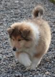 cuccioli collies- pastore scozzese-...