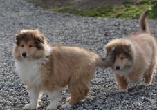 cuccioli collies- pastore scozzese- rough collies