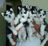 Les chiots Husky de Sibérie doivent être remis immédiatement.