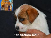 Jack Russell Terrier - Cuccioli...