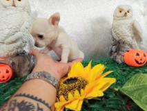 Chihuahua femmina pelo raso bianca  vero Toy perfetta