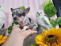 Chihuahua maschio grigio Merle spettacolare ChihuahuamaschiogrigioMerlespettacolare1.jpg