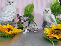 Chihuahua maschio grigio Merle spettacolare ChihuahuamaschiogrigioMerlespettacolare1234.jpg