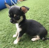 REGALO Cuccioli dolce e bella chihuahua toy