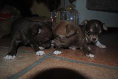Cuccioli Chiuhauha