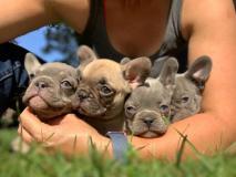 Bulldog francesi cuccioli