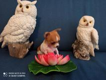 Chihuahua femmina linea giapponese micro  70 giorni