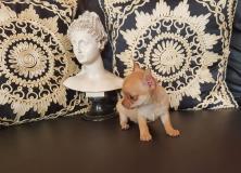 Chihuahua maschio con occhi chiari...