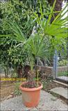 Palme in vaso Palmeinvaso123.jpg