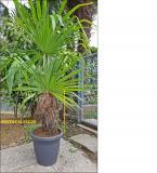 Palme in vaso Palmeinvaso123456.jpg