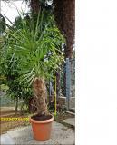 Palme in vaso Palmeinvaso12345678.jpg
