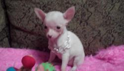 razza Chihuahua maschietto bianco pelo corto,
