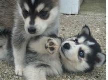 Cuccioli disponibile di Siberian Husky
