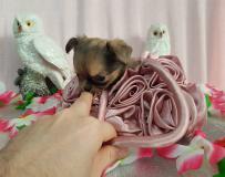 Chihuahua femmina pelo lungo color...