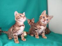 Cuccioli bengala 2,5 mesi con pedigree