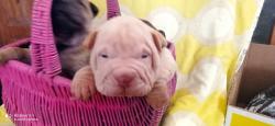 Shar-pei cuccioli
