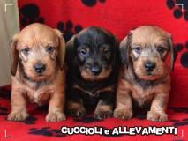 Bassotto Kaninchen e Nano Pelo Duro Cuccioli - Pedigree