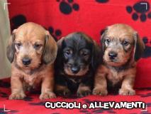 Bassotto Kaninchen e Nano Pelo Duro Cuccioli - Pedigree BassottoKanincheneNanoPeloDuroCuccioliPedigree1.jpg